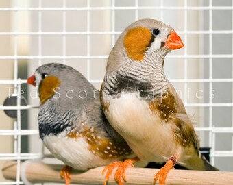 Two Zebra Finches (photography)