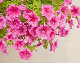 Petunias  (Photography)