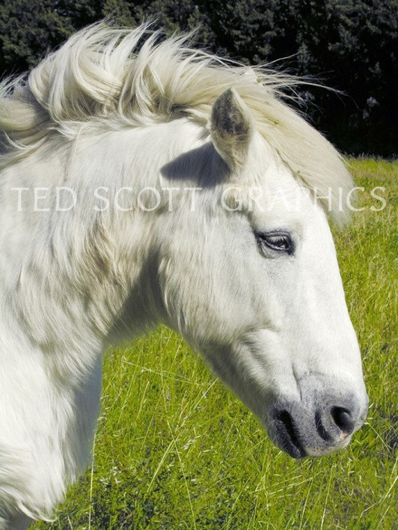 Friendly White Horse (Photography)