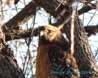 Fine Art  Hawk Photo - Hawk Medicine-  Nature Photo- Look with a keen Eye and You Will See The Beauty 8x10