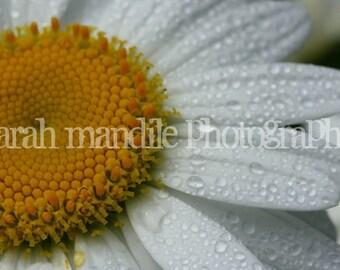 Fine Art Photographic Print - Daisy