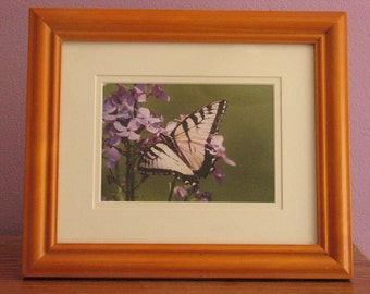 Tiger Swallowtail Butterfly on Wild Phlox