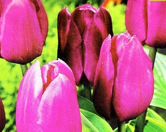 Fall 2016 Pre-Order Now - 100 PRECHILLED TULIP BULBS, Pink Purple Tulip Bulbs Ideal as Plantable Wedding Favors, Corporate Events or Parties