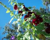 Seeds Organic Hollyhock