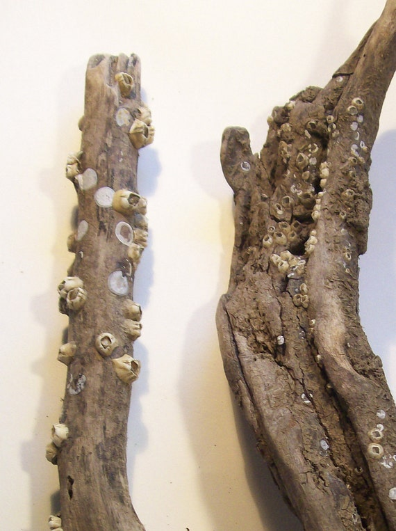2 Driftwood Pieces with Barnacles for Art or Decor