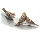 Sparrow Study bird art print reproduction color pencil drawing // free shipping US and Canada / Ready to Frame