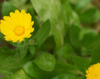 Calendula Seeds - Naturally Grown Edible Flowers and Medicinal Herb