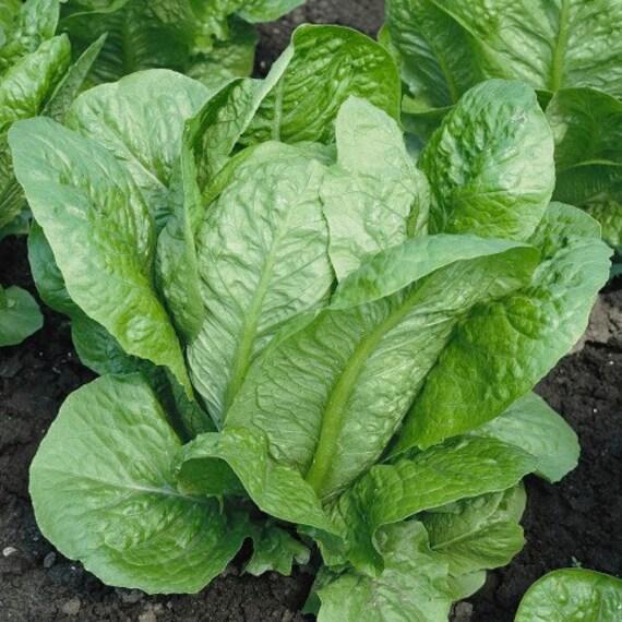Organic Vivian Romaine Lettuce Seeds