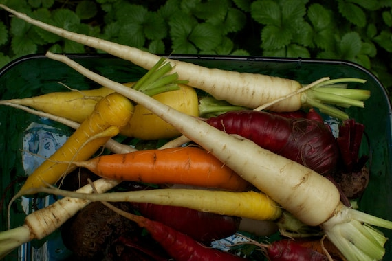 Heirloom Carrot Seeds - Colourful Mix of Organic Rainbow Carrot Seeds