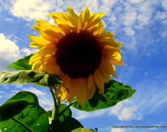 "Sunflower In Blue Sky 8""x10"" photo"