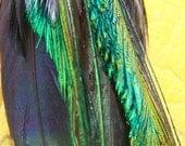 Long Feather Earrings -- Black Peacock