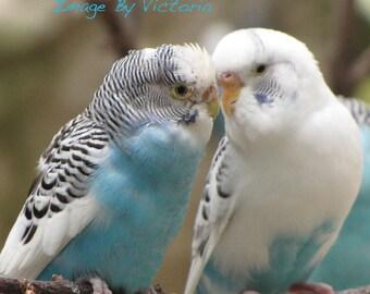Beautiful  Lovebirds  Fine Art Photograph Blue Parakeet Lovebirds   Love Is In The Air