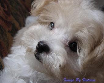 Beautiful Maltese Puppy Love Soulful  Eyes - Fine Art Animal Photograph Wall Decor/Nursery Wall Art Maltese Puppy Photo Art