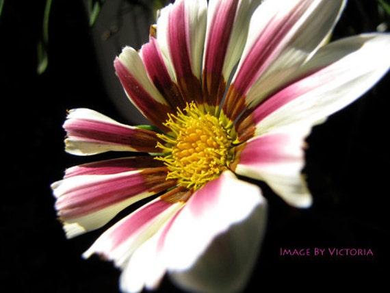 Macro Flower  Wall Art /Daisy Wildflower Photo/ A Moment of light/Sunlight kisses/Nature Beckons/Fine Art Photo Nature Wall Art