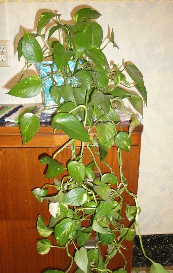 Low Light Organically Grown House Plant Pothos Devil 39 S