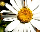 Heirloom Seeds, Flower Seeds, Shasta Daisy Seeds, organic seeds from our farm, spring, flower garden, organic gardening, seed packet, pastel