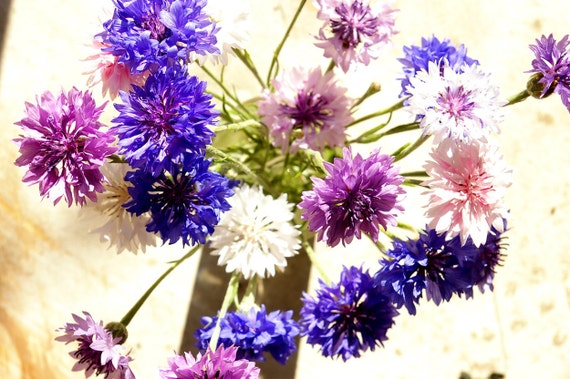 Organic Seeds, Bachelor Button Seed Mixture, Cornflower, heirloom seeds from our farm, spring, seeds, gardener, organic gardening, plants