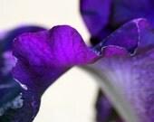 Iris Ruffle - 5x7 Fine Art Print