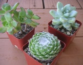 SUCCULENT COLLECTION, GREAT PARTY FAVORS