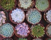 3 Large Succulent Plants, Great for Weddings, Table Decor and Bouquets, Centerpiece, Rosette Shape