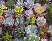 12 Succulent Plants, Great For Terrarium Projects, Living Walls, Party Favors, Take Away Gift