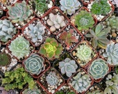 12 Succulent Plants, Terrariums, Wedding Favors, Cake Decoration, Baby Shower Or Other Special Event