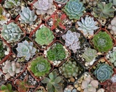 18 Succulent Plants, Terrariums, Wedding Favors, Bridal Showers, Living Frames