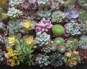 125 Succulents, Favor Size, Weddings, Table Decor, Centerpieces, Living Succulent Frame, QUALITY