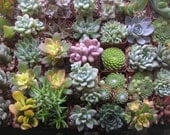 150 Succulents, Wedding Favors, Garden Party And More, Great For A Rustic Wedding Theme, A Nice Collection