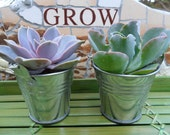 100 Succulent Plants, Silver or White Pails, Rustic Wedding, Party Favors, Special Event, Take Away Gift