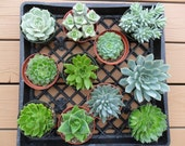 5 Large Succulents For Wedding Decor, Centerpieces, Vertical Wall, Urban Chic