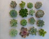 Reserved For Myers, 30 Succulents Cuttings, All Will Be Small Rosettes, Terrariums, Succulent Favors