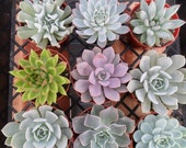 3 Large Succulent Cuttings, Rosettes, Great for Weddings, Cake Topper, Table Decor and Bouquets