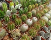 6 Cacti And Succulent Plants, Perfect For A Margarita Party, Southwest Wedding, Centerpiece