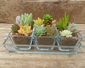 Succulent Centerpiece, Beautiful For Home Decor, Weddings, Green Up Your Space