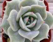 Succulent Plants-2 Echeveria 'Lola', Container Gardens, Party Favors, Table Decor, Terrariums And More