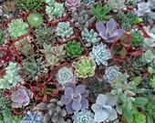 30 Succulents For Terrariums, Wedding, Favors, Centerpieces, Boutonnieres and More