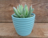 Succulent In 4 Inch Pastel Blue Ceramic Pot, Large 4 Inch Plant, Get Well, Housewarming Gift, Table Decor