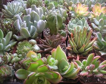 12 Succulents, Succulent Favors, Terrarium, Succulent Centerpiece, Gardens, Table Decor, Wedding Favors, Centerpieces