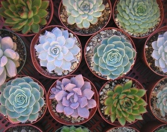 6  Succulent Cuttings, Rosette Shape, Large, Great Size For Your Bouquet, Centerpieces, Wedding Decor, From 4 Inch Pots