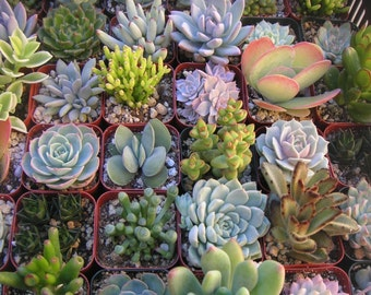 45 Succulents, Great For Wedding Favors, Succulent Centerpiece, Bouquets And Boutonnieres