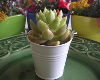 25 Succulent Favors With White Pails, Wedding And Party Favors, Special Event, Baby Shower