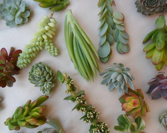 18 Succulents Cuttings, Terrarium, Boutonnières, Table Decor, Rustic Weddings, Living Wall Art