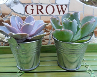 6 Succulent Favors, Silver or White Pails, Rustic Wedding And Party Favors, Unique, Special Event, Take Away Gift