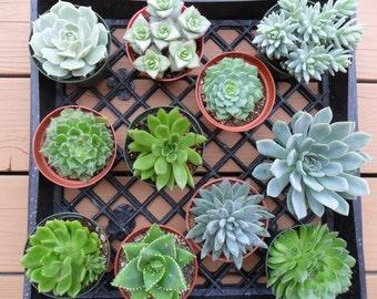 9 Succulent Plants, Large, Centerpiece, Wedding Bouquet, Succulent Garden, Earth Friendly, Urban Chic