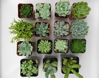 6 Succulent Plants, Great For Terrarium Projects, Centerpieces, Container Gardens, Urban Chic