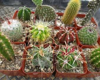 9 Cactus Plants, Perfect For A Margarita Party, Southwest Party, Wedding Favors And More, Southwest