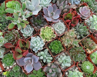 A Riot Of 15 Succulents For Your Terrarium Projects, Succulent Favors, Great Gifts, Party Favors And More
