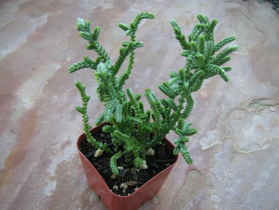 Watch Chain Crassula Muscosa Succulent Plant