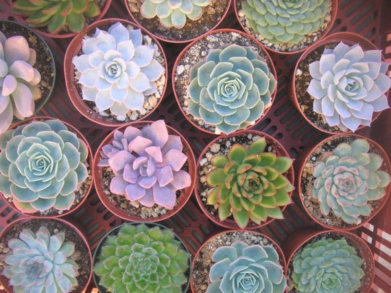 A COLLECTION OF 9 LARGE SUCCULENT PLANTS, GREAT FOR WEDDING FAVORS, BOUQUETS AND CENTERPIECES, 4 INCH POTS